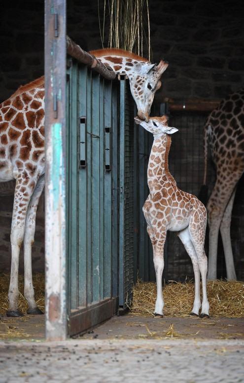 BabyGiraffe-2