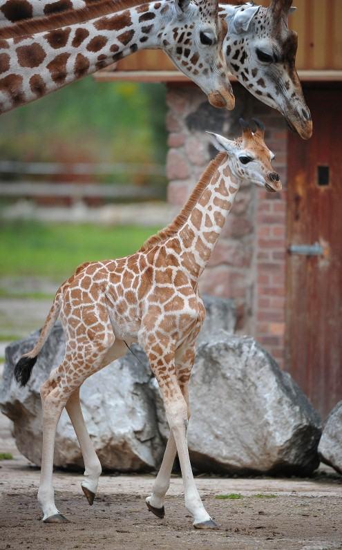 BabyGiraffe-14