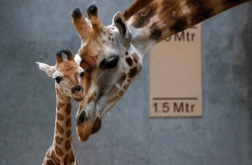 Baby-giraffe-with-dagma