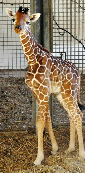 Baby-giraffe-3-12643