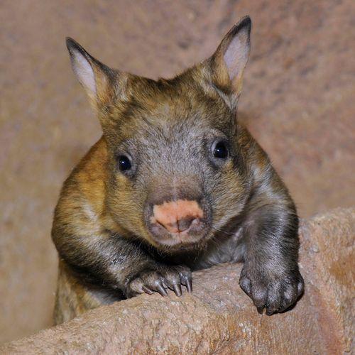 Brookfield-Zoo-Wombat-5