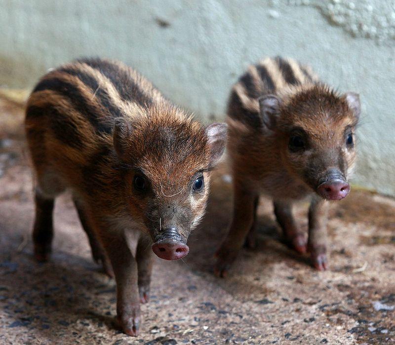 1 pigs.jpg