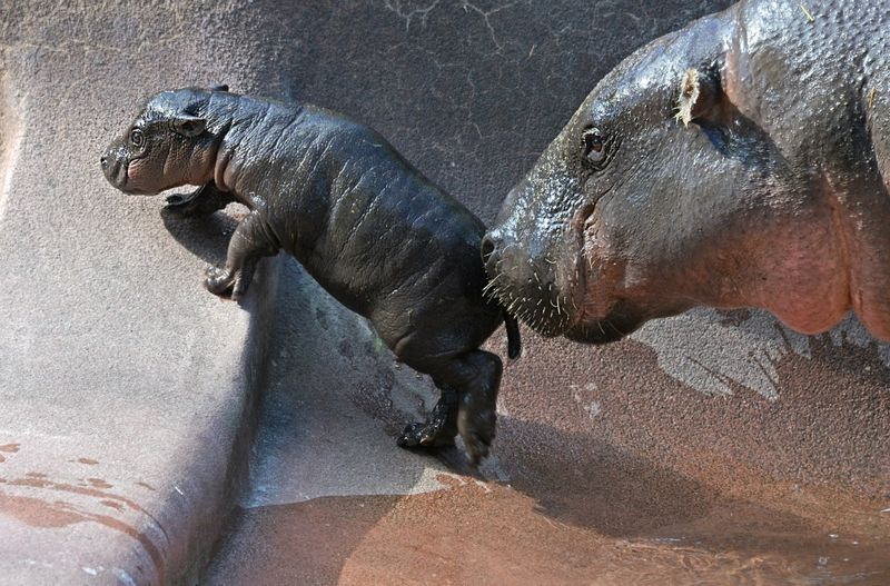 TLPZ Pygmy Hippo born 2