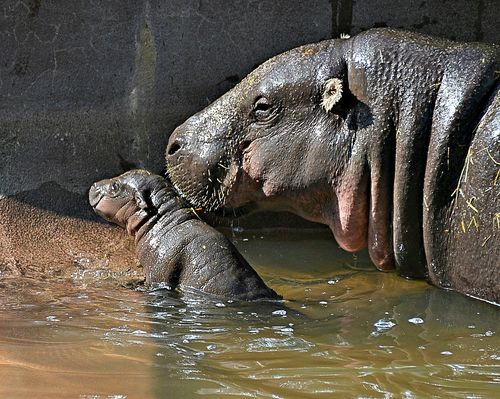 TLPZ Pygmy Hippo born