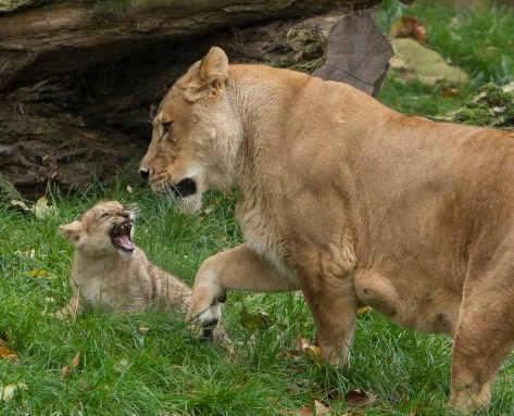 Baby Lion Growling