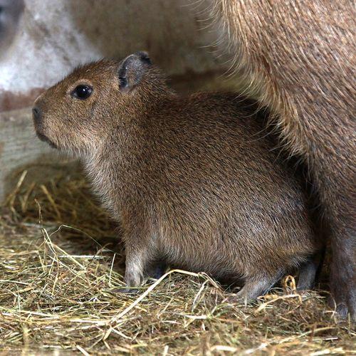 Belfast-Zoo-Capybara2