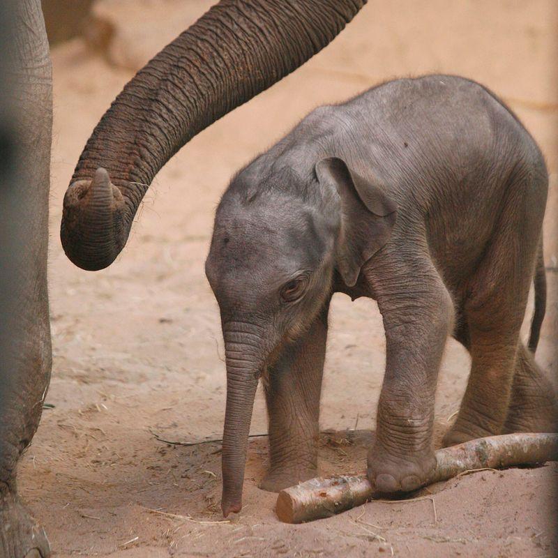 Chester-Zoo-Elephant-2012d