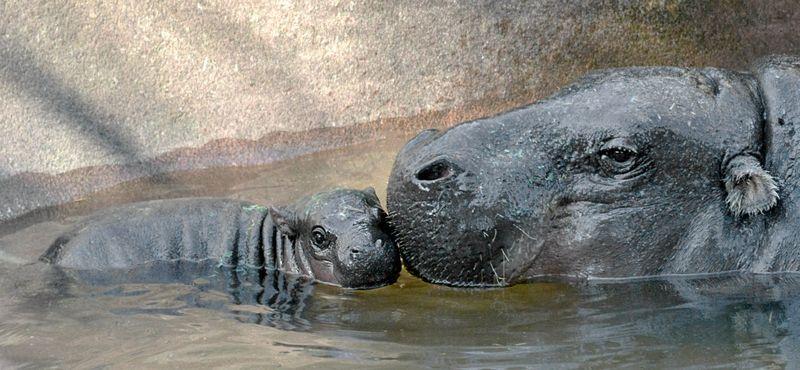 TLPZ baby hippo nuzzle.jpg