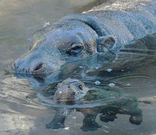 Hippo swimming.jpg.jpg