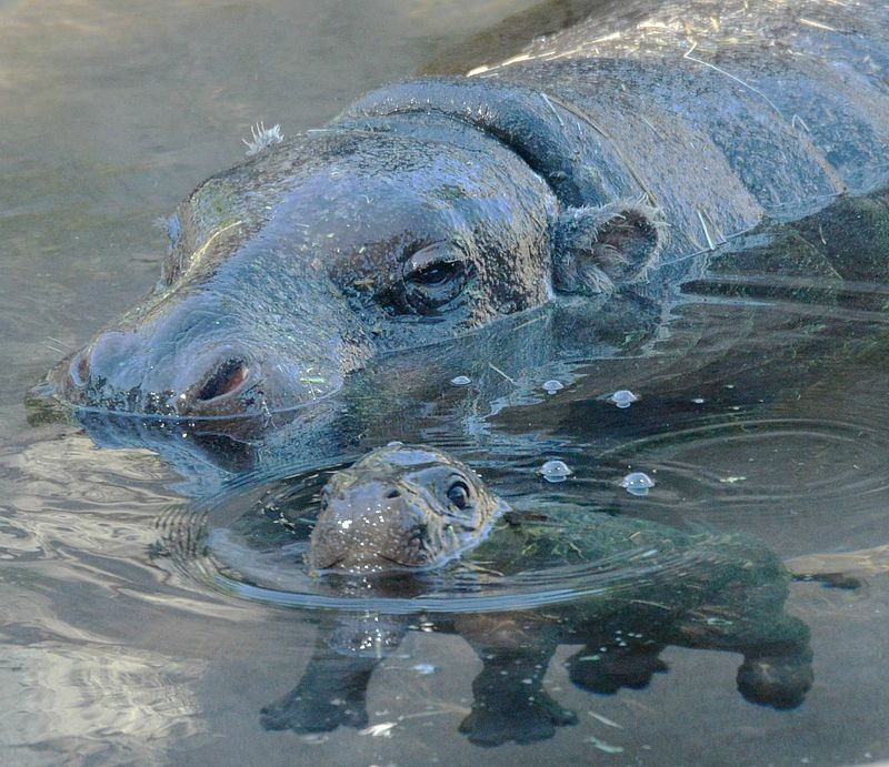Hippo swimming.jpg.jpg