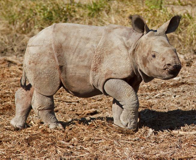 Indian-rhino-calf_male_born10-14-2012---credit-Bonnie-Miller