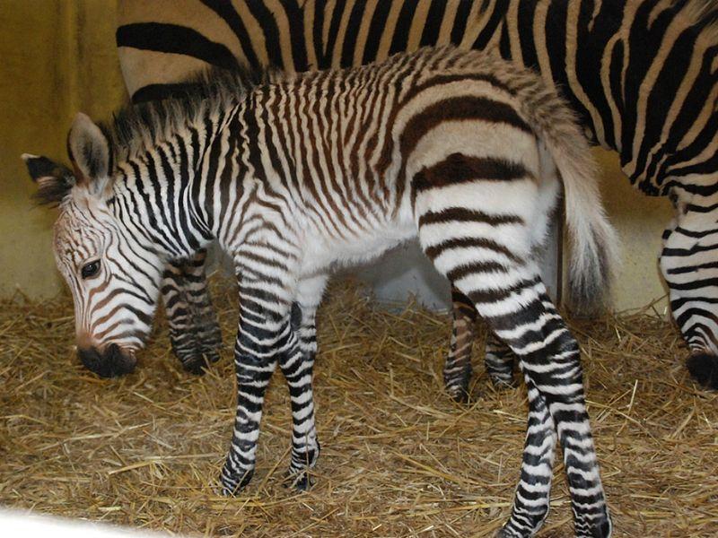 Zebra w mom.jpg