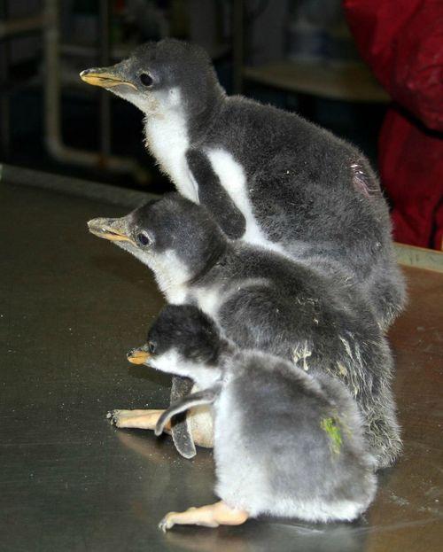 3 penguin chicks.jpg