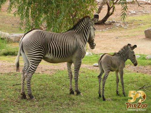 Zebra-New-Born-Oct-2012-03