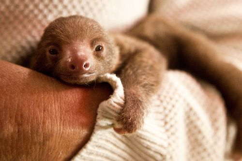 Ruth-Two-toed-Sloth