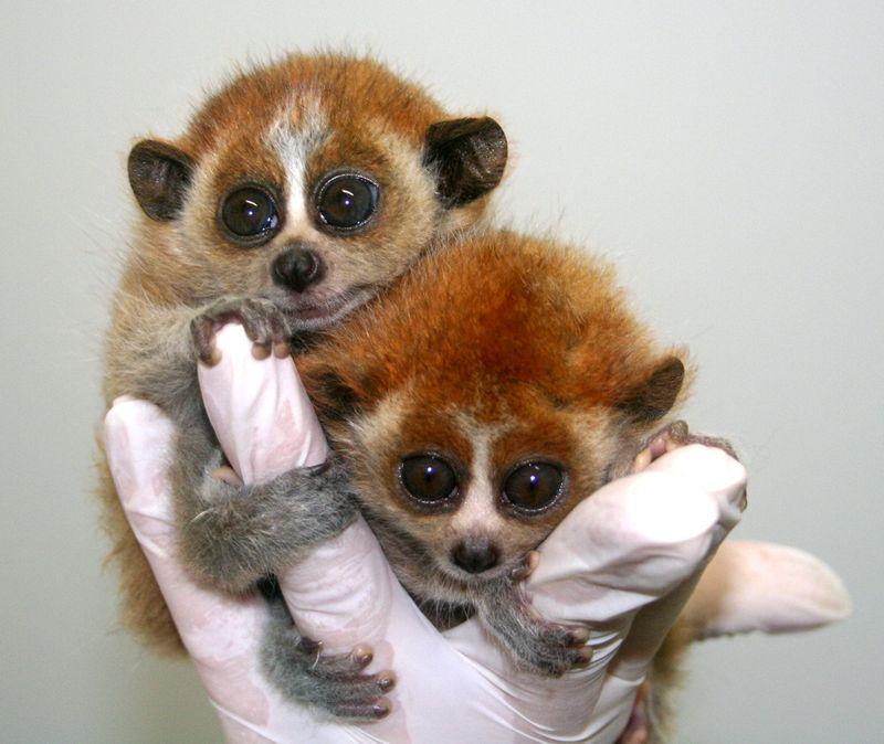Slow-loris-twins-2011-2