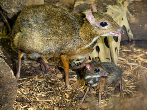 Paignton_Zoo_mouse_deer