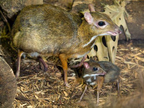 Paignton_Zoo_mouse_deer