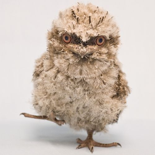 20090211_Baby-Frogmouth-Birds_47-as-Smart-Object-1