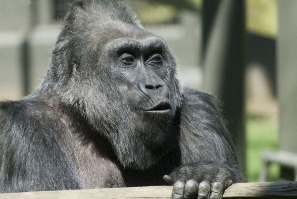 World S Oldest Gorilla Celebrates Birthday At Columbus Zoo