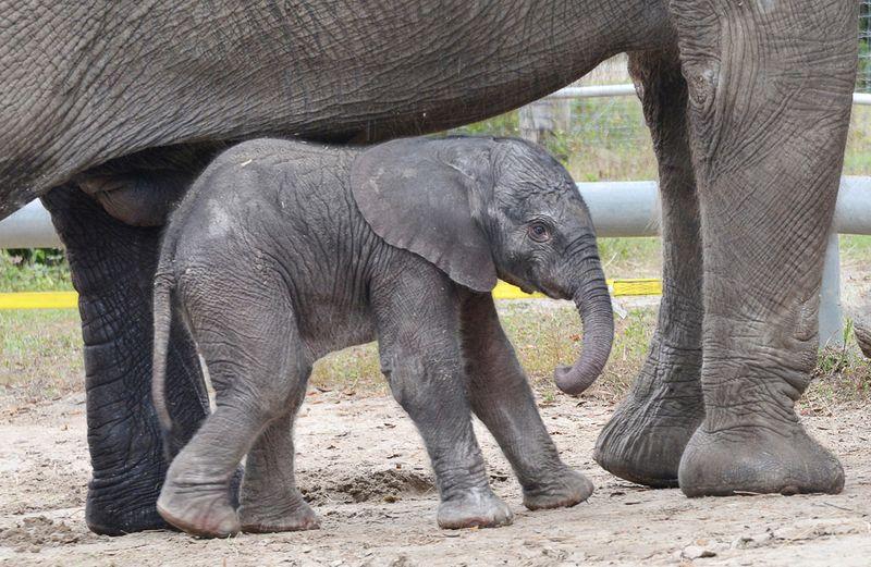 TLPZ-elephant-calf-1