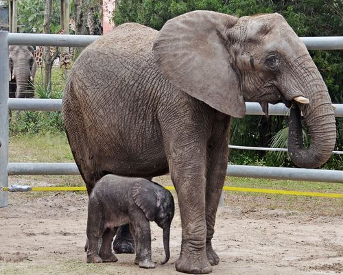 TLPZ-Mbali-and-calf-1