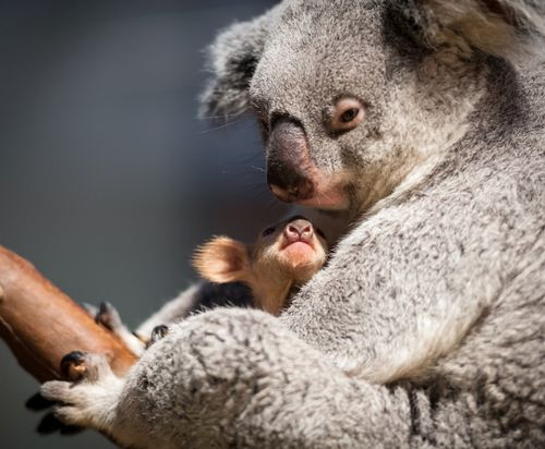 Baby Koala Noses Its Way Out of the Pouch at Planckendael ZooBorns