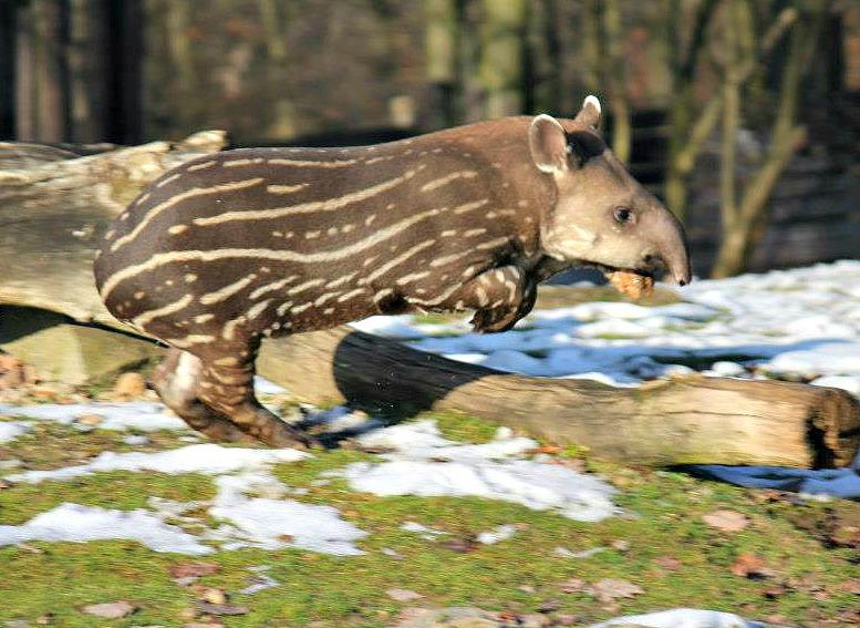 Tapir 6