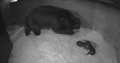 B mom and cubs 1