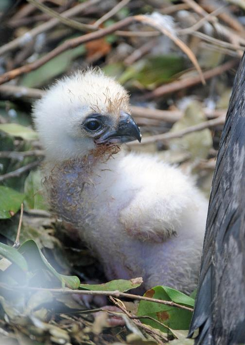 Zoo Miami Harpy Eagle Chick 8