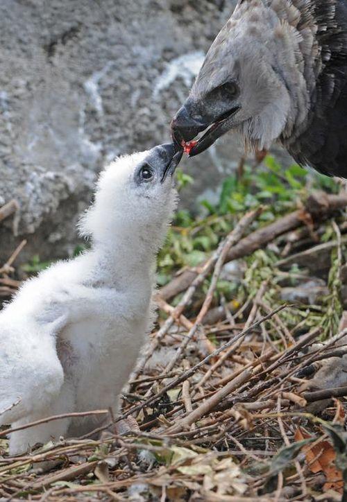 Zoo Miami Harpy Eagle Chick 10