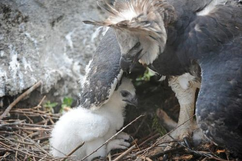 Zoo Miami Harpy Eagle Chick 12