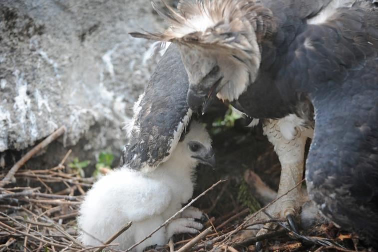 Zoo Miami Harpy Eagle Chick 12