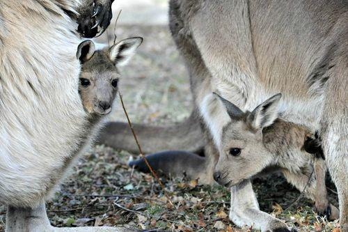 Kangaroo Joey-8