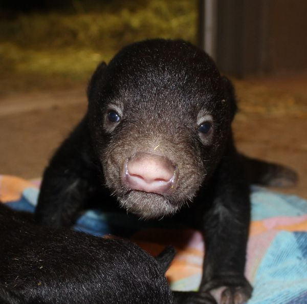 Significant Birth: Sloth Bear Twins Thriving at Tautphaus Park Zoo