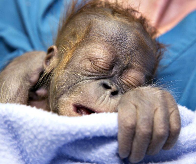 Orangutan_baby_130110_ZA_0682