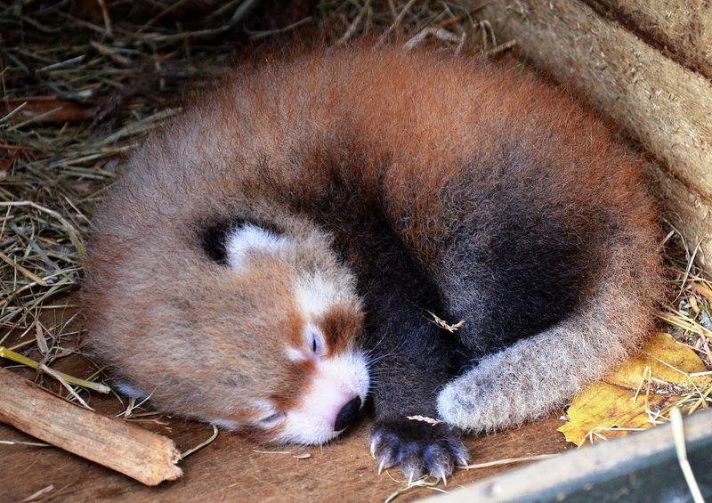 Panda nap cu