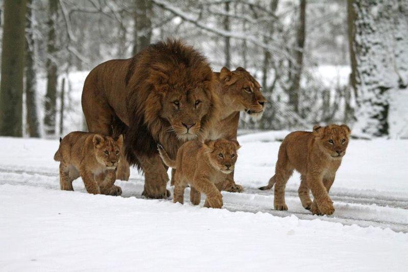 Cub family