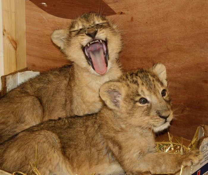 Cub yawn 1