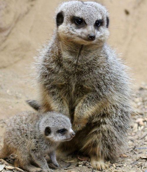 Meerkat vertical