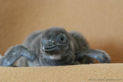 African Penguin 2