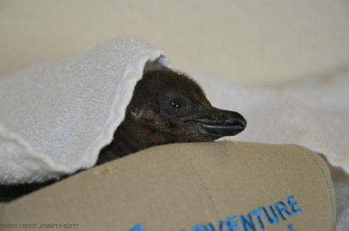 African Penguin 3