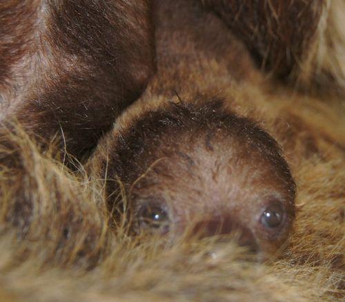 Sloth CU 2