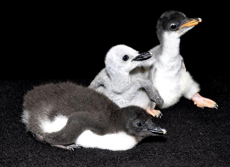 SeaWorld San Antonio_Gentoo_Chinstrap_Rockhopper chicks