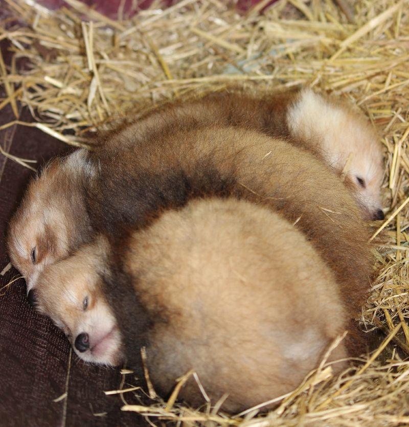 Baby Red Panda Pile.jpg