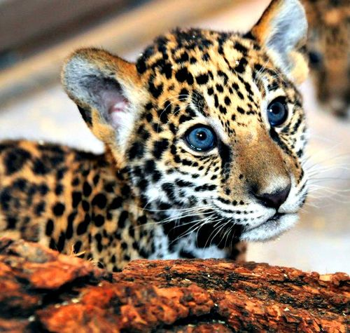 What Do Jaguars Eat >> Update Milwaukee S Jaguar Cubs Eat Play Grow Zooborns