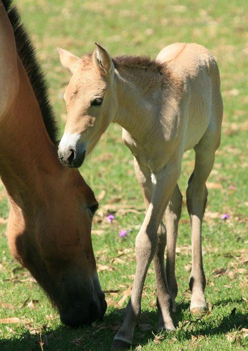 Foal head