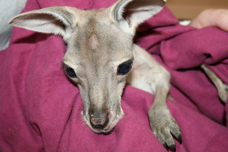 Wildlife Hospital_Red Kangaroo joey (2)
