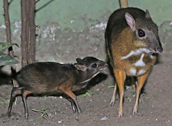 tiny mouse deer born at berlin zoo zooborns