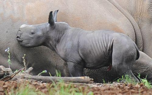 Rhino cu
